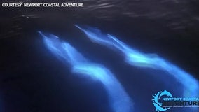 Dolphins appear to glow as they swim in bioluminescent water
