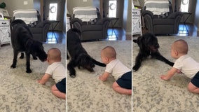 Baby can't stop laughing at playful Labradoodle