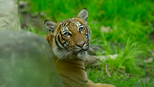 Tiger at NYC Bronx Zoo positive for coronavirus