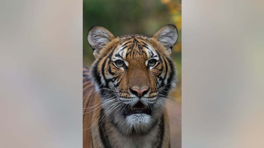 Tiger attacks, kills Swiss zookeeper inside enclosure