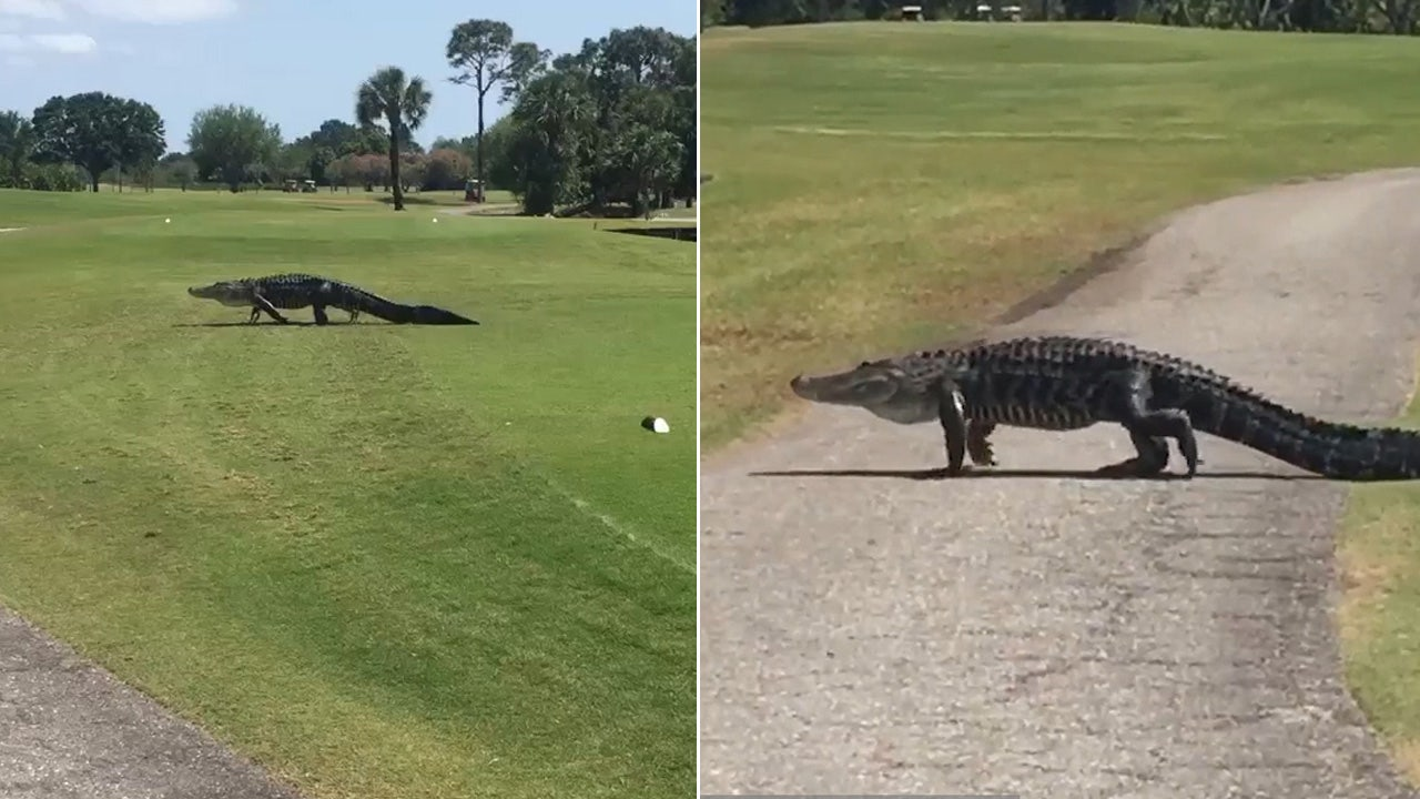 Massive Gator Slowly Treks Across Florida Golf Course
