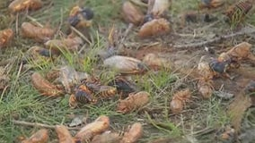 Millions of cicadas expected to emerge after 17 years
