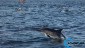 Whale watchers report thousands of dolphins in 'superpod' off Laguna Beach