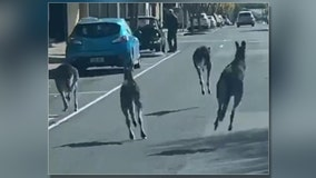 Eased 'roo-strictions': Kangaroos mark loosened lockdown with hop among cars in South Australia