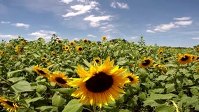 Six acres of sunflowers provide burst of sunshine at Sweetfields Farm