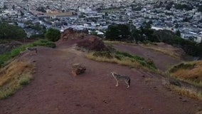Two coyotes serenade San Francisco residents