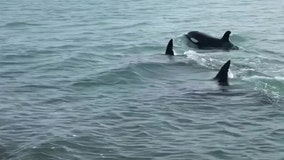 Killer whales swimming close to shore delight New Zealand beachgoers