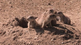 Prairie dog pups emerge from burrow at Maryland zoo
