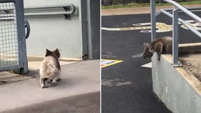 Curious koala takes a leisurely stroll around Australian school