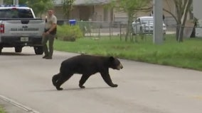 Glazed or jelly? FWC uses Krispy Kreme doughnuts to lure bear into humane trap