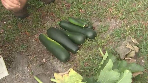Harvesting zucchinis in the Good Day Garden