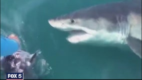 Great white shark is spotted off the coast of Ocean City