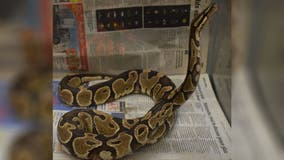 Hunter in Hawaii captures python; officials can't explain how it got on island