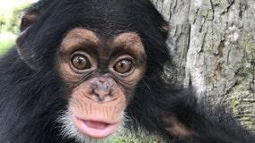 Baby Chimpanzee Unites With Adoptive Mom at Detroit Zoo
