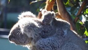 Australian reptile park introduces snuggly koala joey