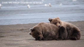 Sleepy bear cubs cuddle on Alaskan beach