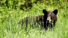 St. Pete man fined $8,000 for illegally killing black bear in Alaska