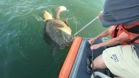 Coast Guard rescues loggerhead sea turtle tangled in line