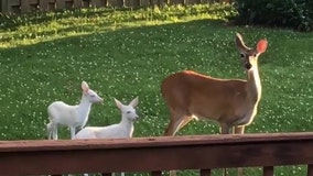 Missouri woman catches 2 rare 'ghost deer' on camera