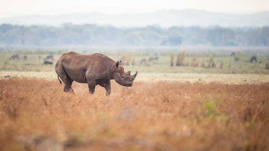 African_Parks_Liwonde_Black_Rhino.jpg