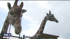 It's a circus with these giraffes in Bradenton