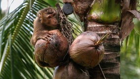 Several supermarket, drugstore chains no longer selling coconut products picked by monkeys