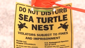 2 Florida men charged with poaching protected sea turtles eggs