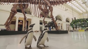 Penguins visit Chicago Natural History Museum ahead of reopening