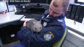 New 'recruit' wombat wombles around Australian police station office