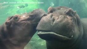 Cincinnati Zoo's Fiona, Bibi 'kiss crash' under water in adorable display of affection