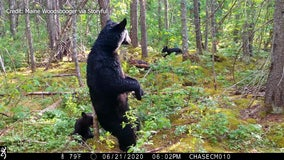Trail camera captures footage of black bear and cubs 'scent marking' in Maine woods