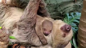Baby sloth snuggles with mom at Rhode Island zoo
