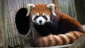 Columbus Zoo searching for missing red panda, a recent mother of two cubs