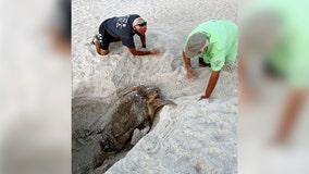 Turtle watchers find loggerhead stuck in massive hole on Anna Maria Island beach