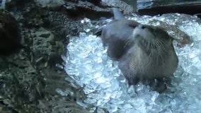 Otters chill out in ice cube bath at Oregon Zoo