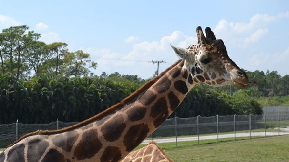 'Cupid,' the 15-year-old giraffe, passes away at Florida's Lion Country Safari