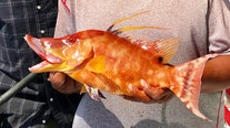 Near shore, hogfish have been picky lately
