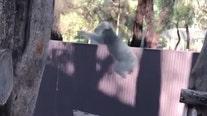 Koala makes impressive leap onto tree