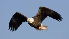 Bald eagle shows air superiority, sends drone into Lake Michigan