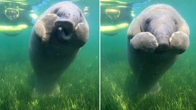 Adorable video shows manatee calf scratching itchy nose