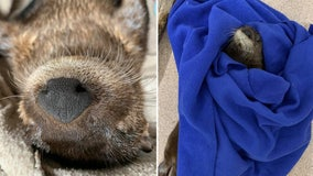 Orphaned otter pup finds new home at ZooTampa