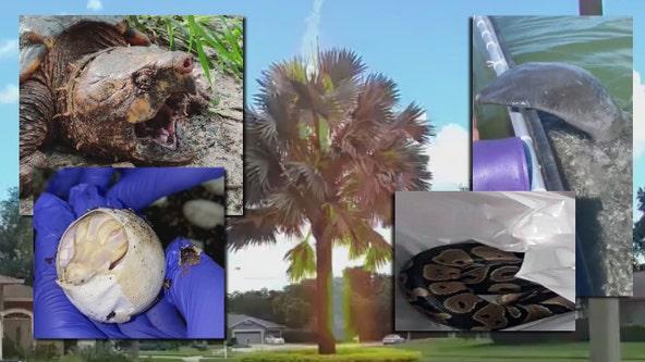 Only in Florida: Albino alligators, alligator tortoises, and mischievous manatees