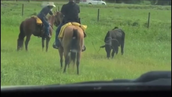 Florida deputies lasso 'charging' bull loose near highway