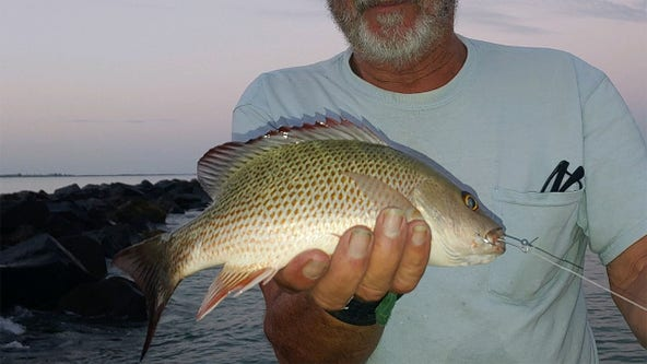 Mangrove snapper are active inshore