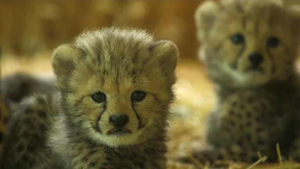 Four cheetah cubs make their adorable debut at an Austrian zoo