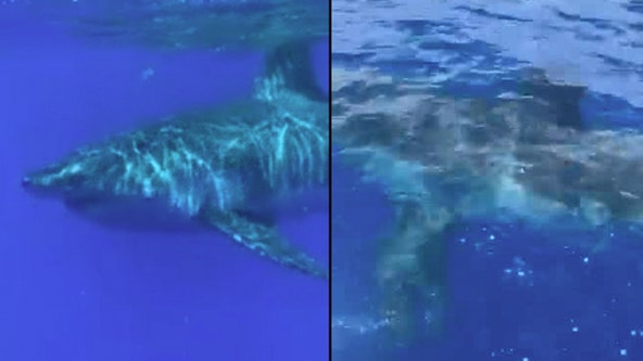 Giant great white shark captured on video swimming off of the Florida coast