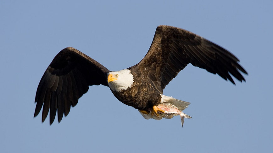 Bald eagle shows air superiority, sends drone into Lake Michigan