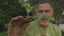 Choosing your tomato plant