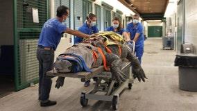 660-pound alligator undergoes diagnostic test at UF College of Veterinary Medicine
