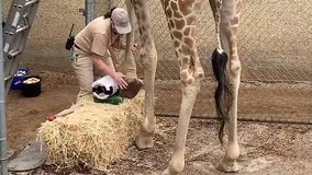 Giraffe gets a pedicure
